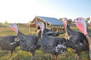Orlopp Bronze Turkeys